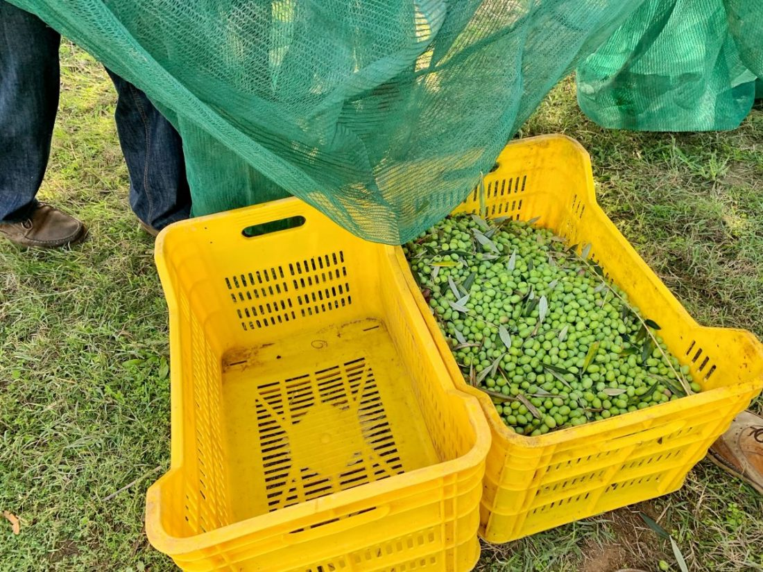 The olive harvest in Italy